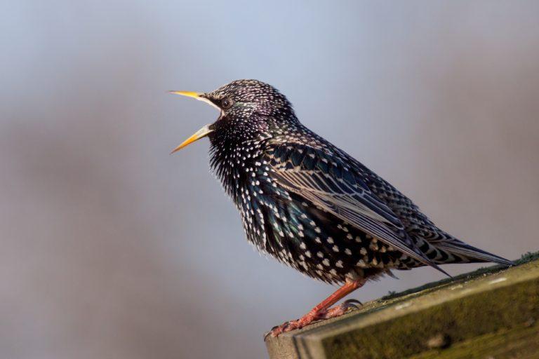 Sassy Starlings