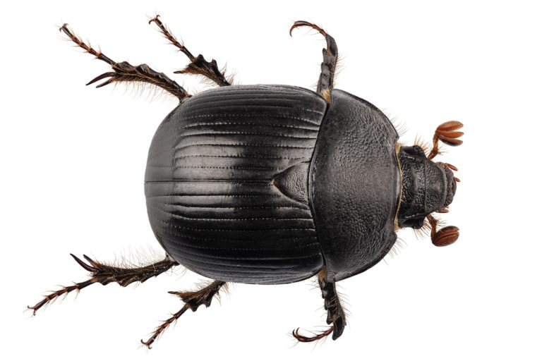The Dumbledore Beetle