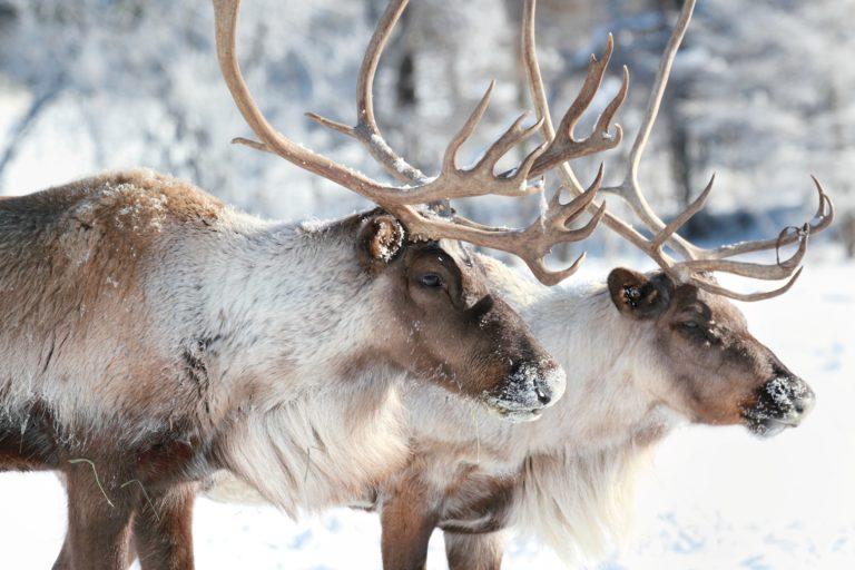 Remarkable Reindeer
