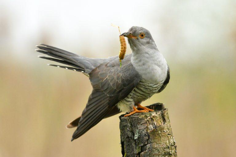 The Carefree Cuckoo