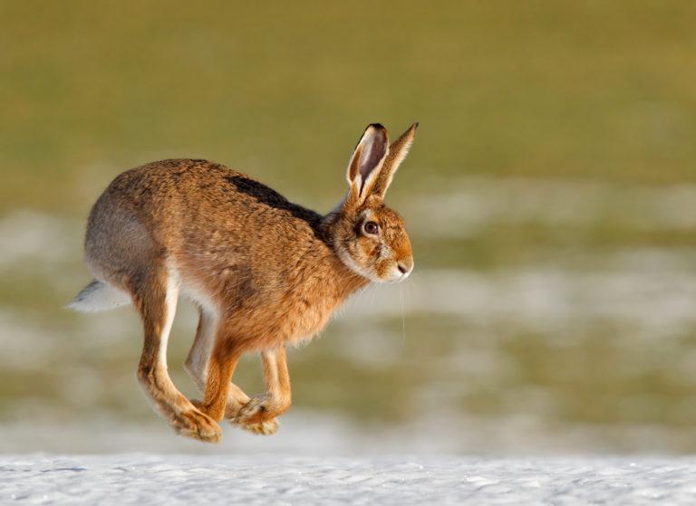 The High-spirited Hare